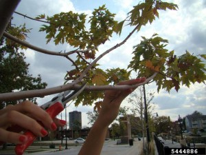 tree pruning - crown reduction example