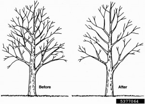 tree trimming pruning guide tips techniques for trimming trees rh treeremoval com Maple Tree in Finland Pruning Maple Trees Branches