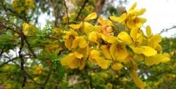 Retama flowers