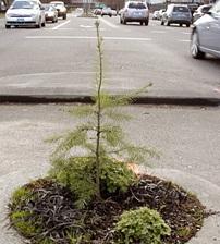 Shortest Douglas fir