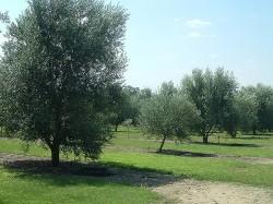 Texas olive