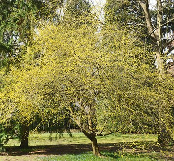 Cornelian-cherry dogwood