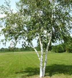 locust tree types