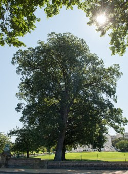 the pecan tree carya illinoensis is the texas state tree which is one of the oldest species of trees fossil remains found in texas show that the native