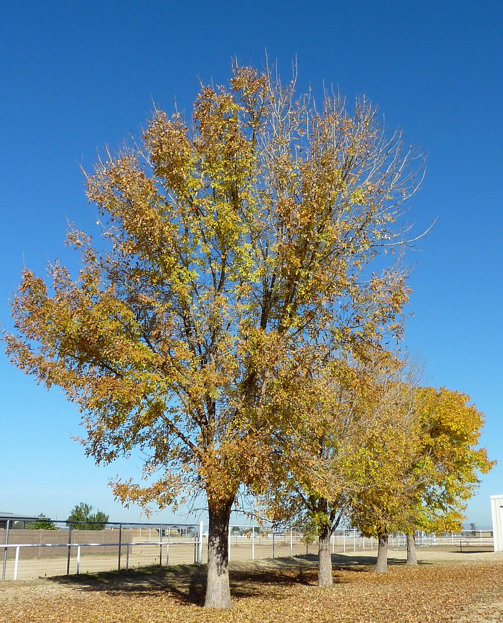 Ash tree identification how to identify white black ash trees arizona ash mightylinksfo