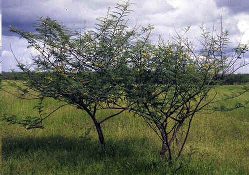 Catclaw mimosa