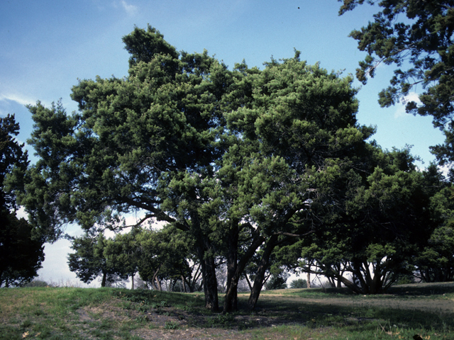 Ashe juniper