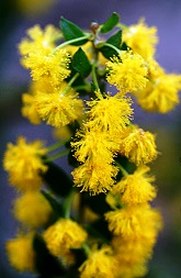 Golden wattle acacia