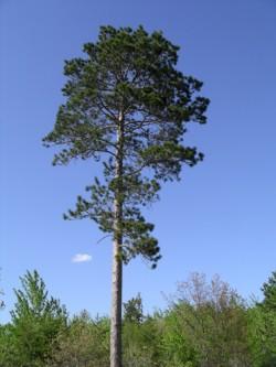 Norway pine
