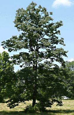 Persimmon tree