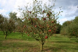 Dwarf apple