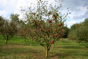 Apple Tree Pruning Your Guide To Trimming And Pruning Apple Trees
