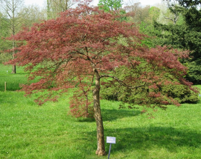 pruning japanese maple trees how to trim prune rh treeremoval com Maple Tree Growing Zones Red Maple Tree Types