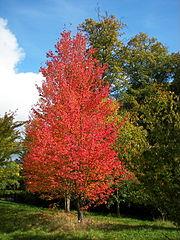 Red flowering maple