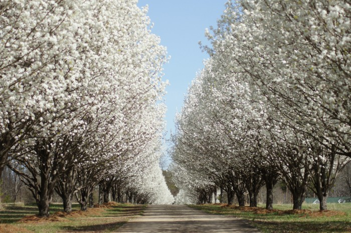Bradford pear trees facts pruning more Bradford pear