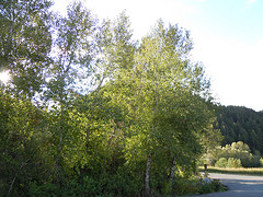 Narrowleaf cottonwood