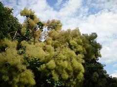 Common smoketree