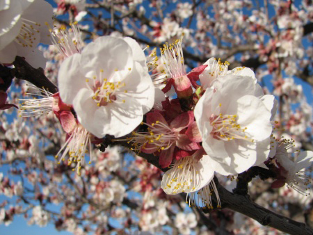 Apricot bloom