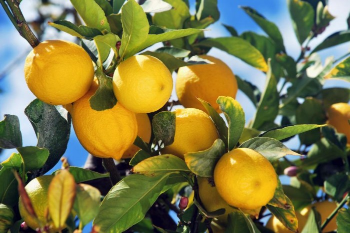 how to prune a lemon tree